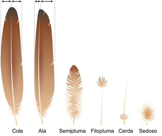 Tipos de plumas y origen